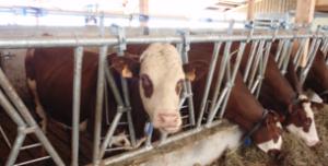 Vaches aux cornardis
