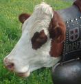 Romaine, une vache de race Abondance