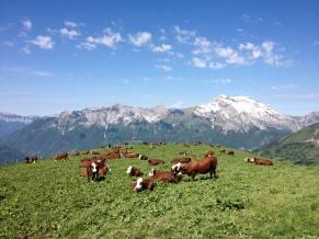 Les vaches dans l'alpage